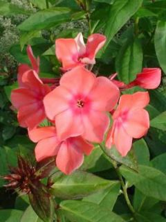 Phlox paniculata Windsor - Phlox paniculé rose vif