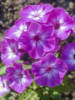 Phlox paniculata Purple Eye Flame - Phlox paniculé nain pourpre violacé clair à coeur blanc