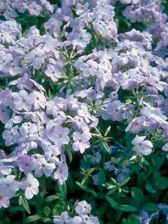 Phlox stolonifera Blue Ridge
