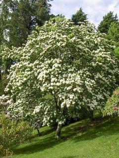 Photinia beauverdiana notabilis