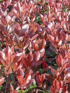 Photinia 'Dynamo Red'