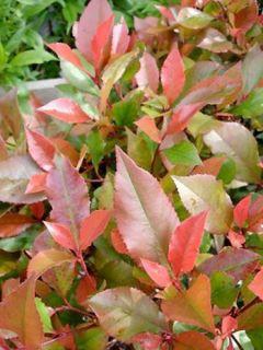 Photinia Fraseri  Little Red Robin - Photinia nain Little Red Ro