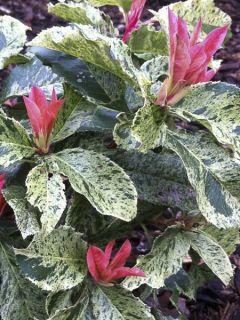 Photinia serratifolia Pink Crispy - Photinia de Chine panaché
