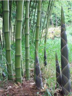 Phyllostachys atrovaginata Green Perfume - Bambou moyen