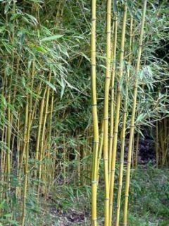 Phyllostachys aureosulcata Spectabilis - Bambou moyen