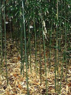Phyllostachys humilis - Bambou moyen