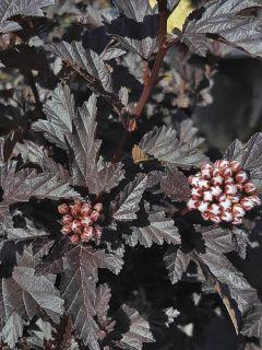 Physocarpus opulifolius All Black - Physocarpe noir.