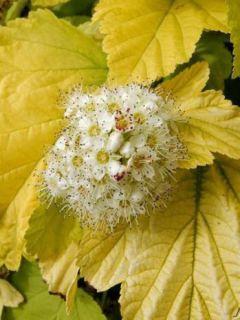 Physocarpus opulifolius Angel Gold (Minange) - Physocarpe à feuilles dorées.