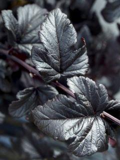 Physocarpe à feuilles d'Obier 'Black Light '
