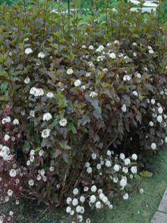 Physocarpe Diabolo- Physocarpus opulifolius Diabolo