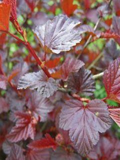 Physocarpus Lady in Red - Physocarpe à feuilles pourpres