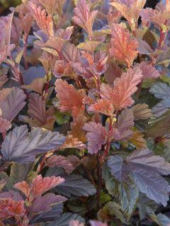 Physocarpe à feuilles d'Obier 'Little Angel'