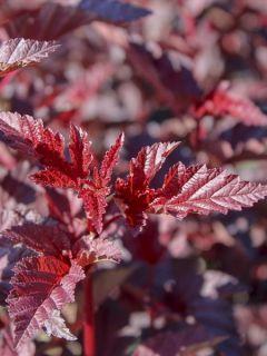 Physocarpe à feuilles d'Obier 'Rubella'