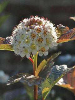 Physocarpe à feuilles d'Obier 'Summer Wine'®
