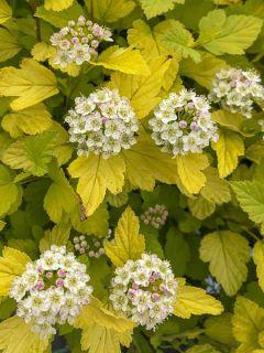 Physocarpe à feuilles d'Obier 'Tiny Wine Gold '