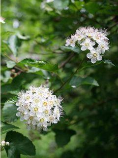 Physocarpus opulifolius - Physocarpe à feuilles d'aubier