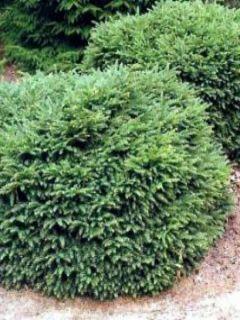 Picea abies Nidiformis - Epicea commun nain