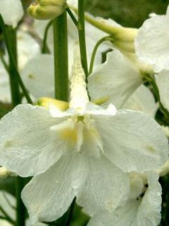 Delphinium belladonna Casablanca