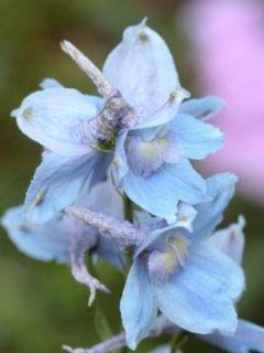 Delphinium x belladonna Cliveden Beauty - Pied d'Alouette vivace