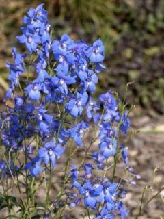 Delphinium belladonna Piccolo, Pied d Alouette