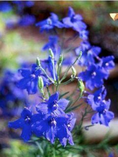 Delphinium grandiflorum Blauer Zwerg - Pied d'Alouette Blauer Zwerg