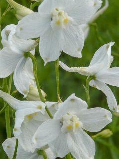 Delphinium belladonna Moerheimii - Pied d'Alouette vivace
