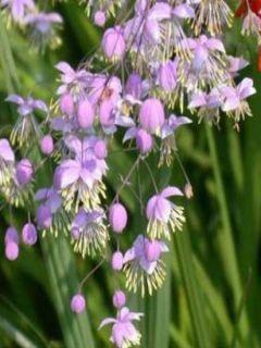 Thalictrum delavayi - Pigamon lilas aux étamines jaune crème