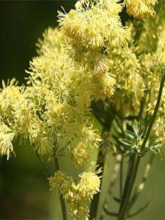 Thalictrum flavum glaucum - Pigamon jaune glaucum