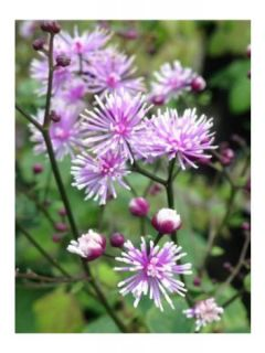 Thalictrum actaeifolium Perfume Star - Pigamon