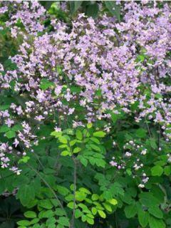 Thalictrum rochebrunianum - Pigamon de Rochebrun