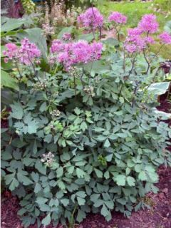Thalictrum aquilegifolium Thundercloud - Pigamon à feuille d'ancolie