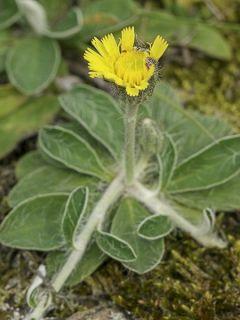 Hieracium pilosella - Epervière
