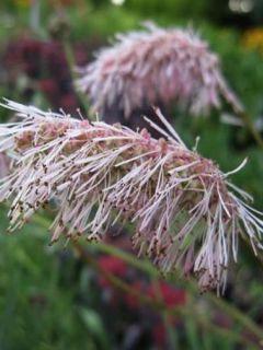 Sanguisorba tenuifolia Pink Elephant - Pimprenelle à fines feuilles