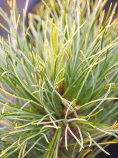 Pinus cembra Compacta Glauca - Pin cembro nain
