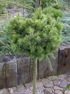 Pin d'Oregon, Sapin de Douglas 'Mt.hood'