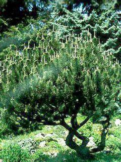 Pin des montagnes - Pinus mugo mughus
