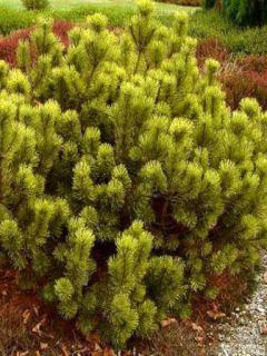 Pinus mugo Ophir - Pin de montagne