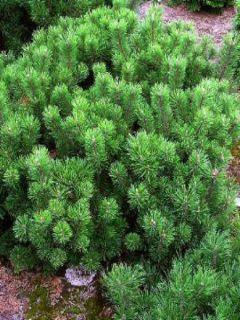 Pinus mugo pumilio - Pin de montagne