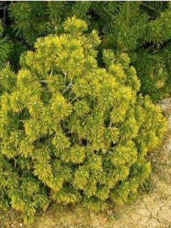 Pinus mugo Winter Gold - Pin de montagne nain doré - Pin de rocaille