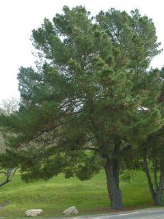 Pinus insignis (radiata) - Pin de Monterey