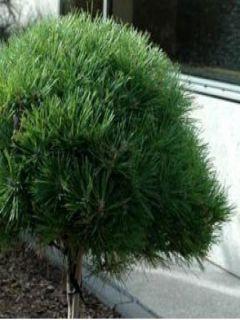 Pinus nigra Pierrick Brégeon ® (Brepo)