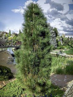 Pinus nigra Green Tower - Pin noir
