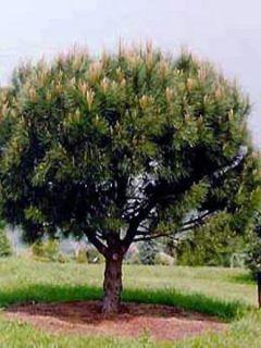 Pinus pinea - Pin parasol