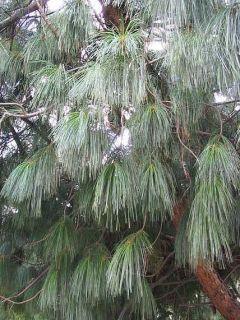 Pinus wallichiana - Pinus griffithii - Pin pleureur de l'Himalaya