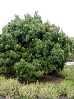 Pinus sylvestris Watereri - Pin sylvestre nain.