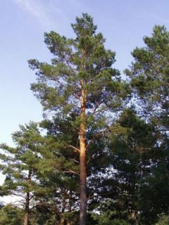 Pin sylvestre - Pinus sylvestris
