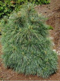 Pinus strobus Radiata - Pin de Weymouth nain