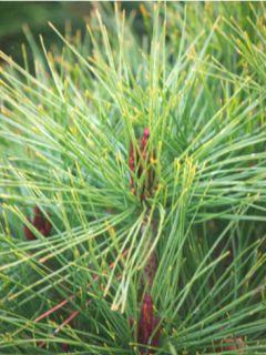 Pinus densiflora Alice Verkade - Pin rouge du Japon