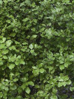 Pittosporum tenuifolium Emerald Dome - Pittosporum à petites feuilles