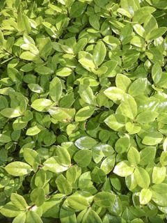 Pittosporum à petites feuilles 'Golden Ball'